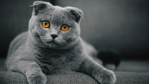 Pictures Of Scottish Fold Cat