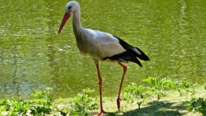 Pictures Of Stork