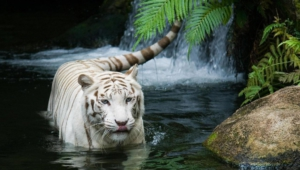 Pictures Of White Tiger
