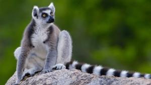 Pictures Of Lemur