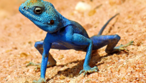 Pictures Of Lizard