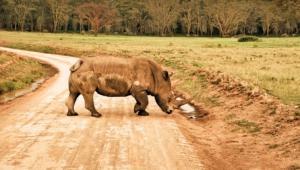 Rhinoceros HD Iphone