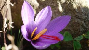 Saffron Crocus Images