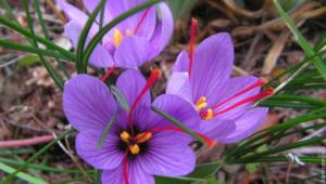 Saffron Crocus Pictures