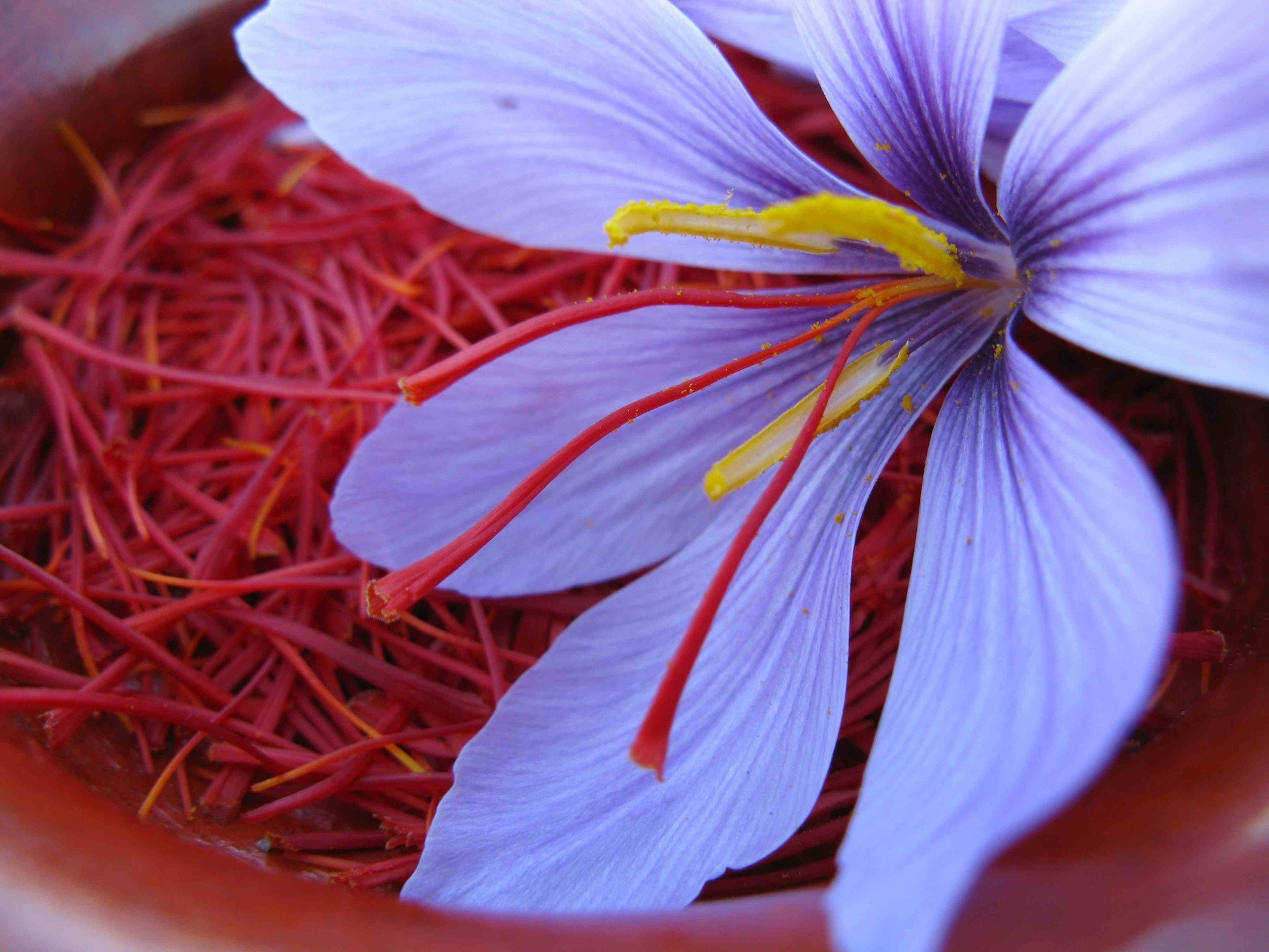 Saffron Crocus Wallpapers HD