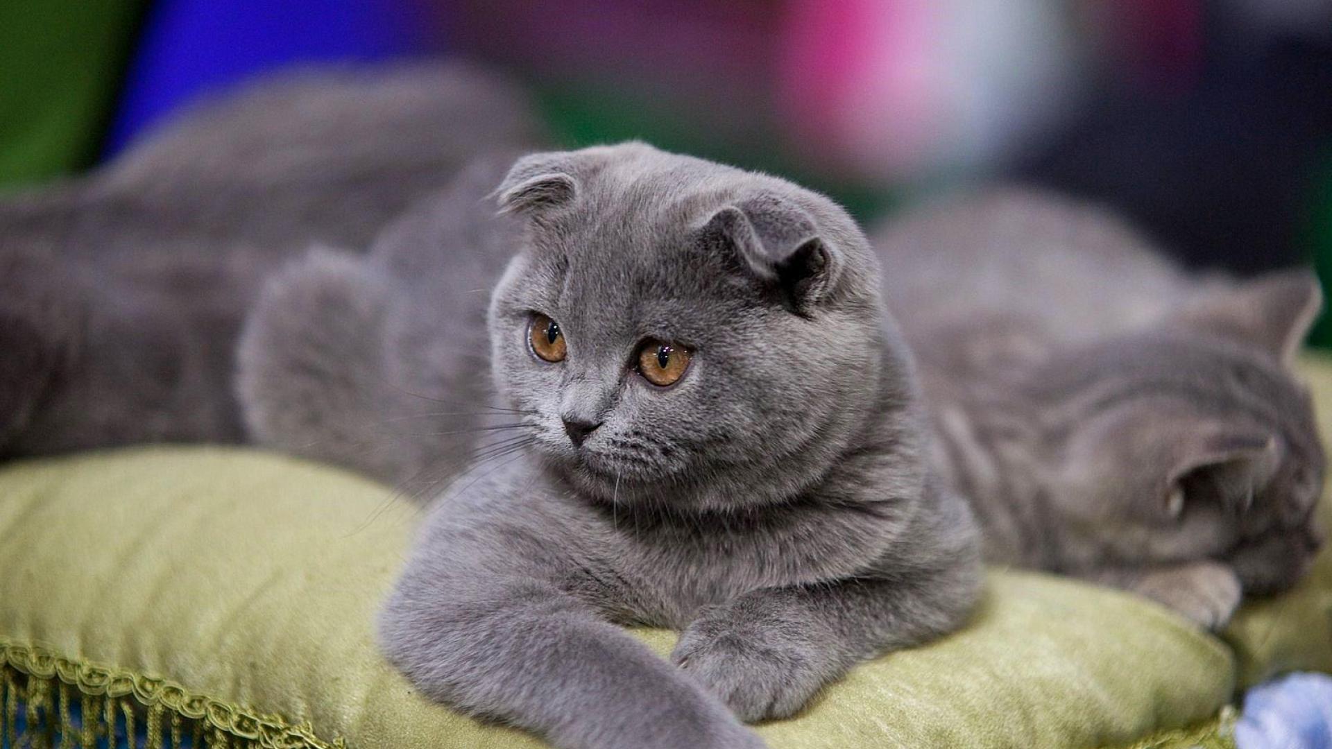 Scottish Fold Cat Photos