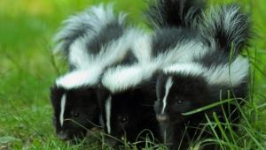 Skunk Wallpaper