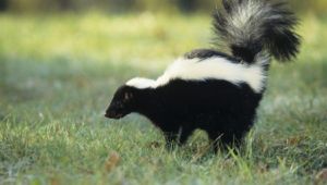 Skunk Wallpapers HD