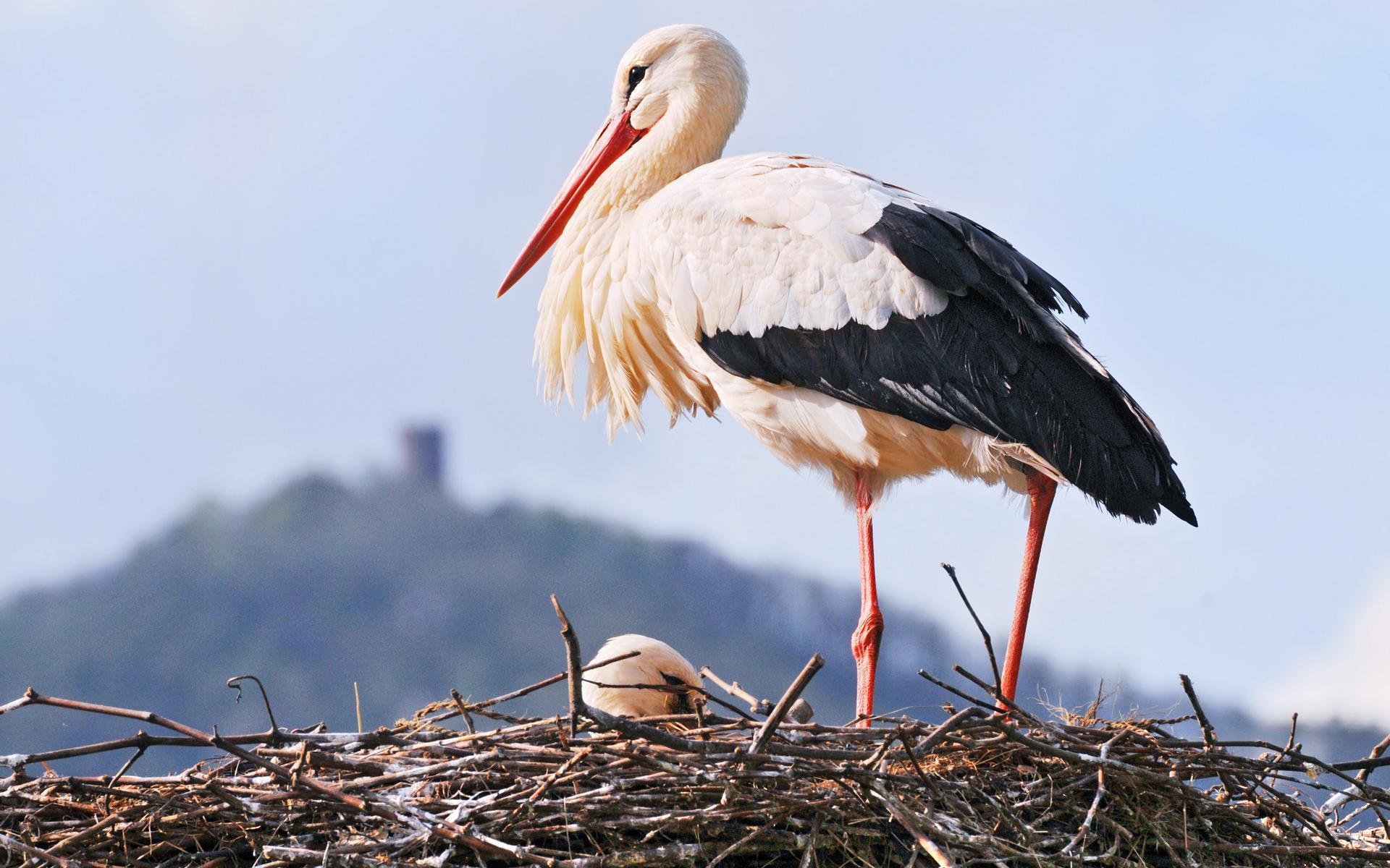 Stork HD Background
