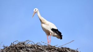 Stork HD Wallpaper