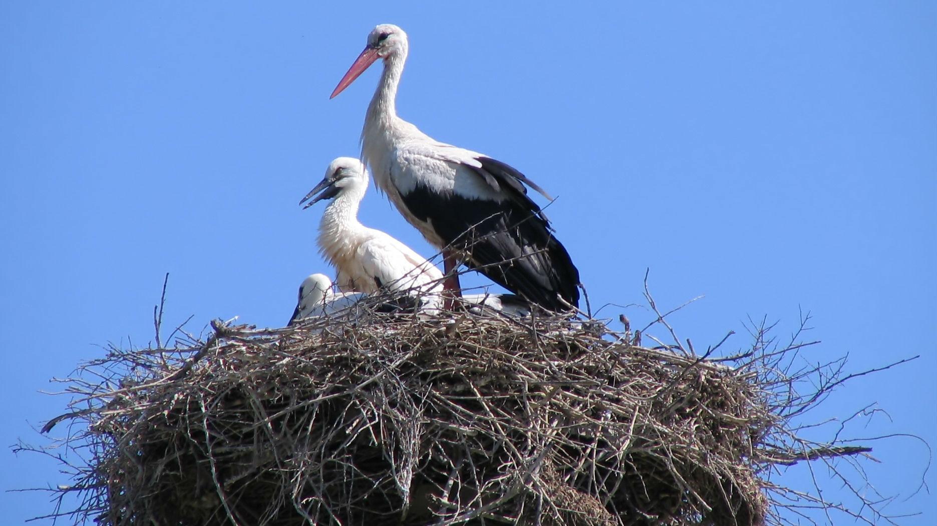 Stork Wallpaper