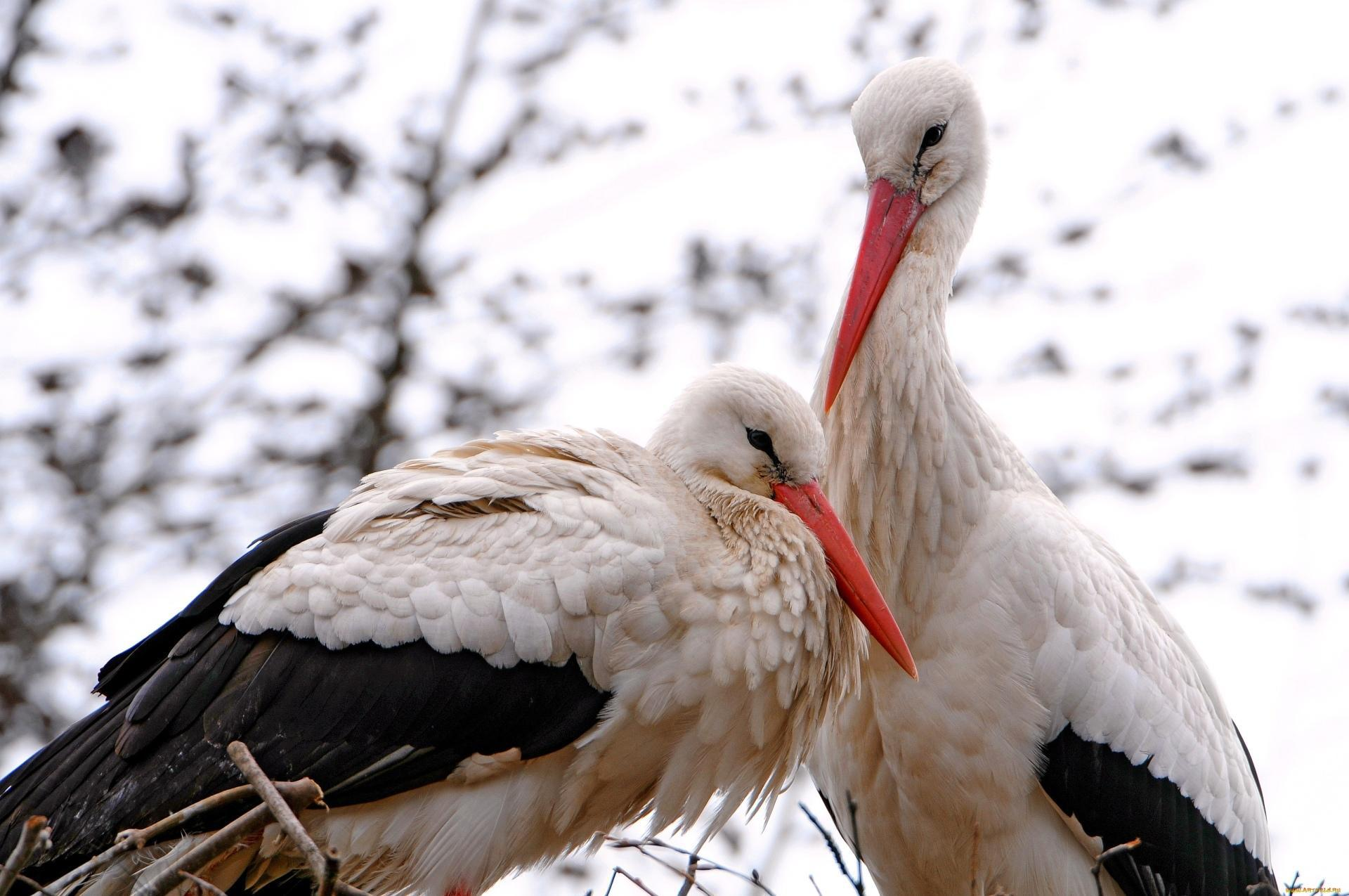 Stork Wallpapers HD