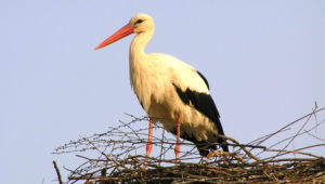 Stork Widescreen