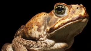 Toad HD Iphone