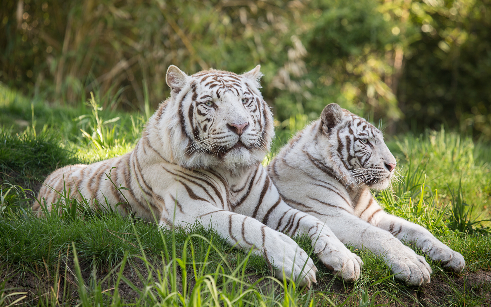 White Tiger Photos