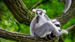 Lemur Images