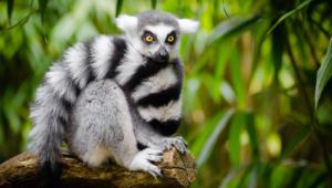 Lemur Pictures