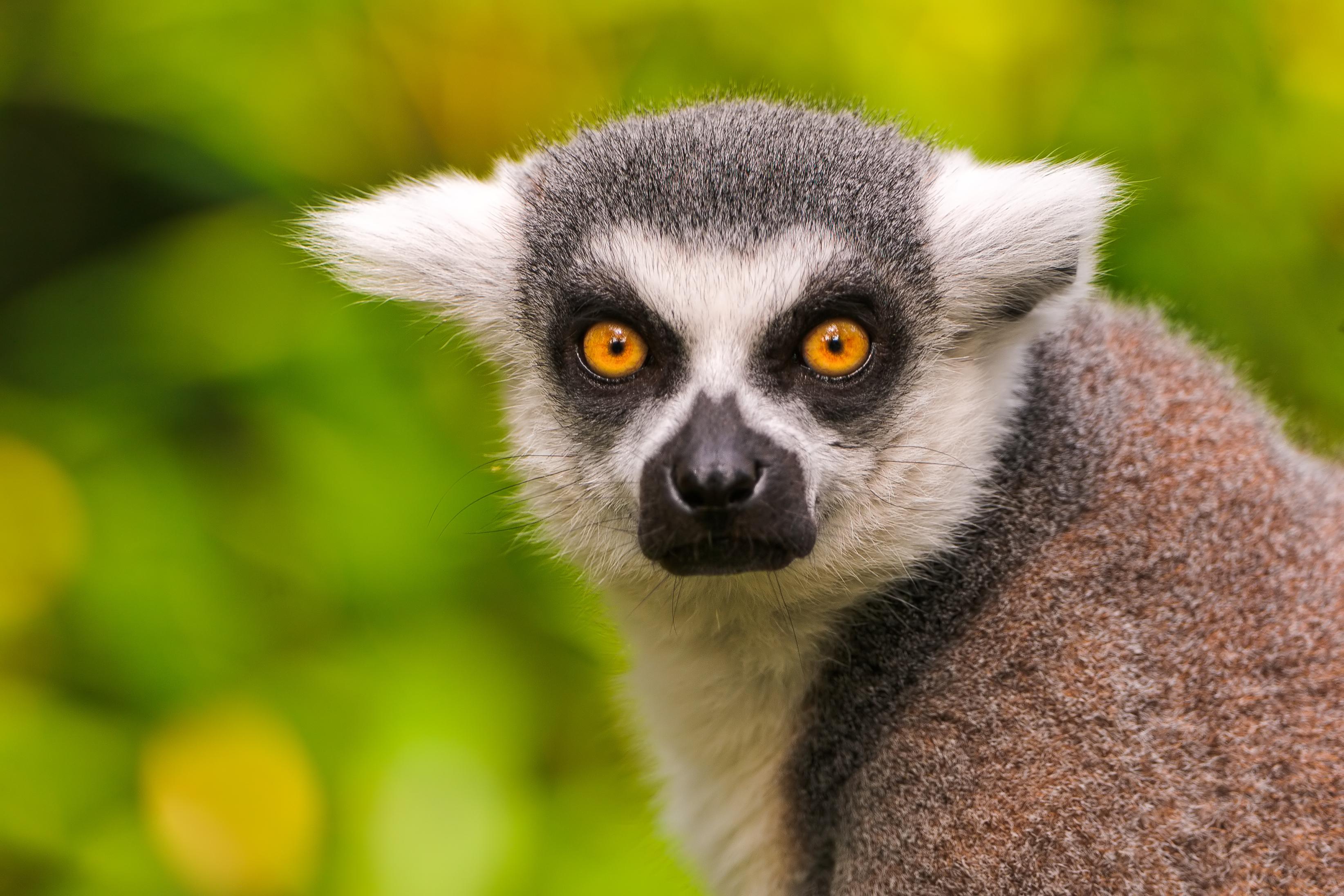 Lemur Wallpapers HD