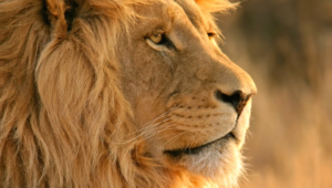 Lion Pictures