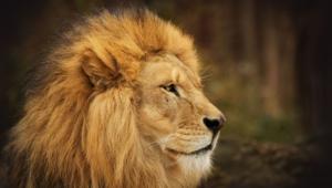 Lion Widescreen