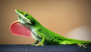 Lizard Wallpapers HD
