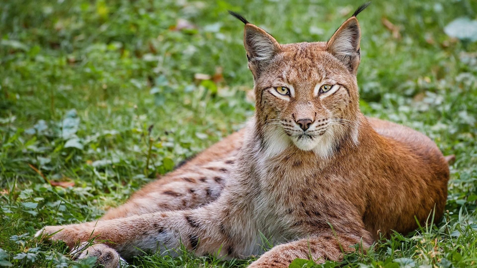 Lynx Photos