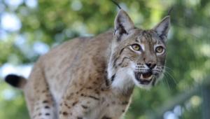 Lynx Widescreen
