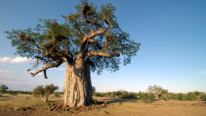 Baobab Background