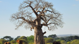 Baobab Computer Backgrounds