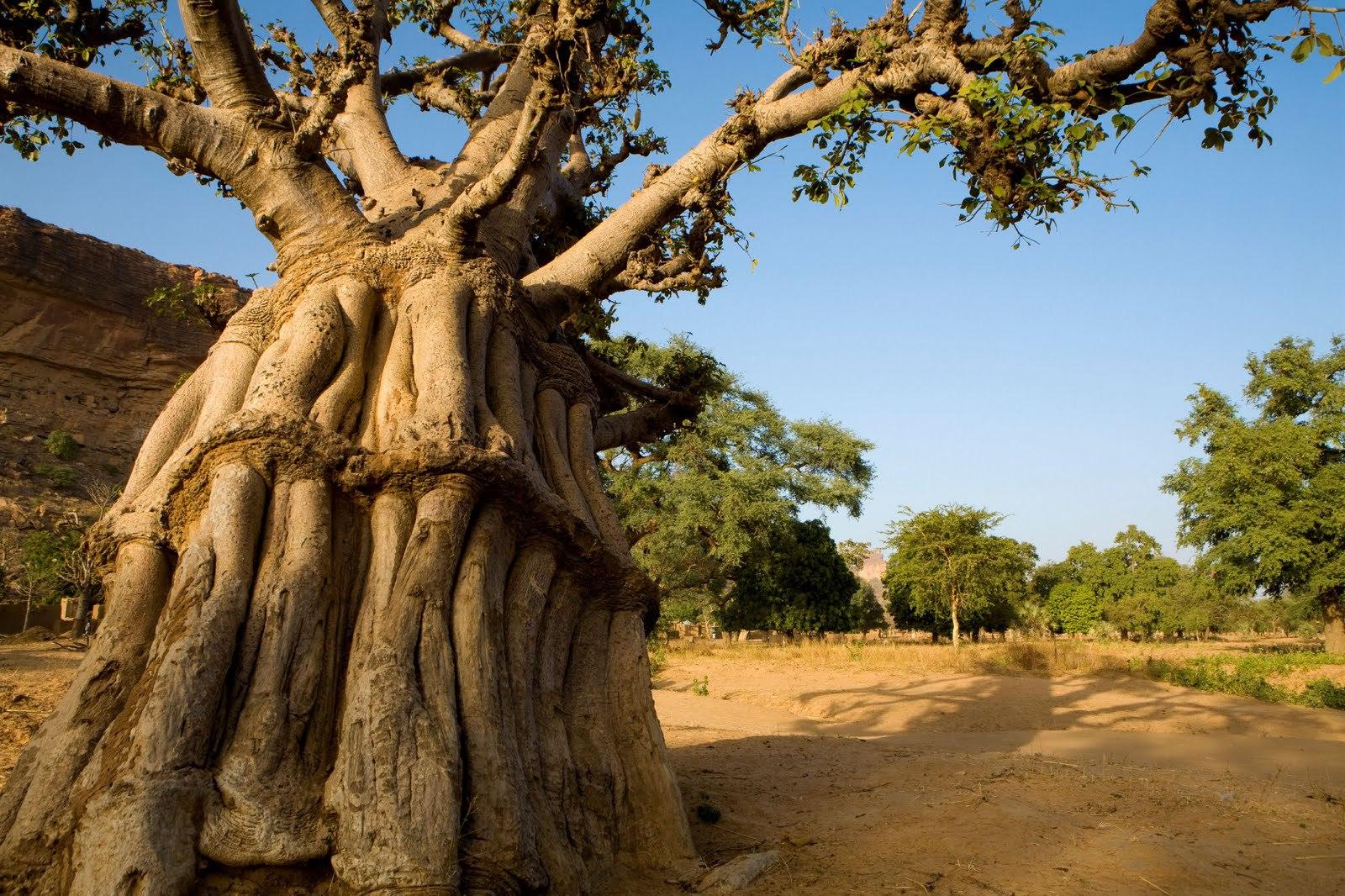 Baobab HD
