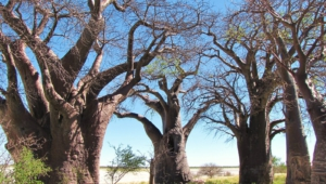 Baobab Wallpaper For Computer