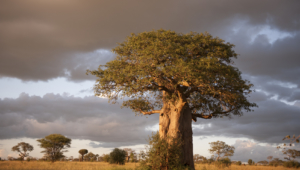 Baobab Wallpaper For Laptop