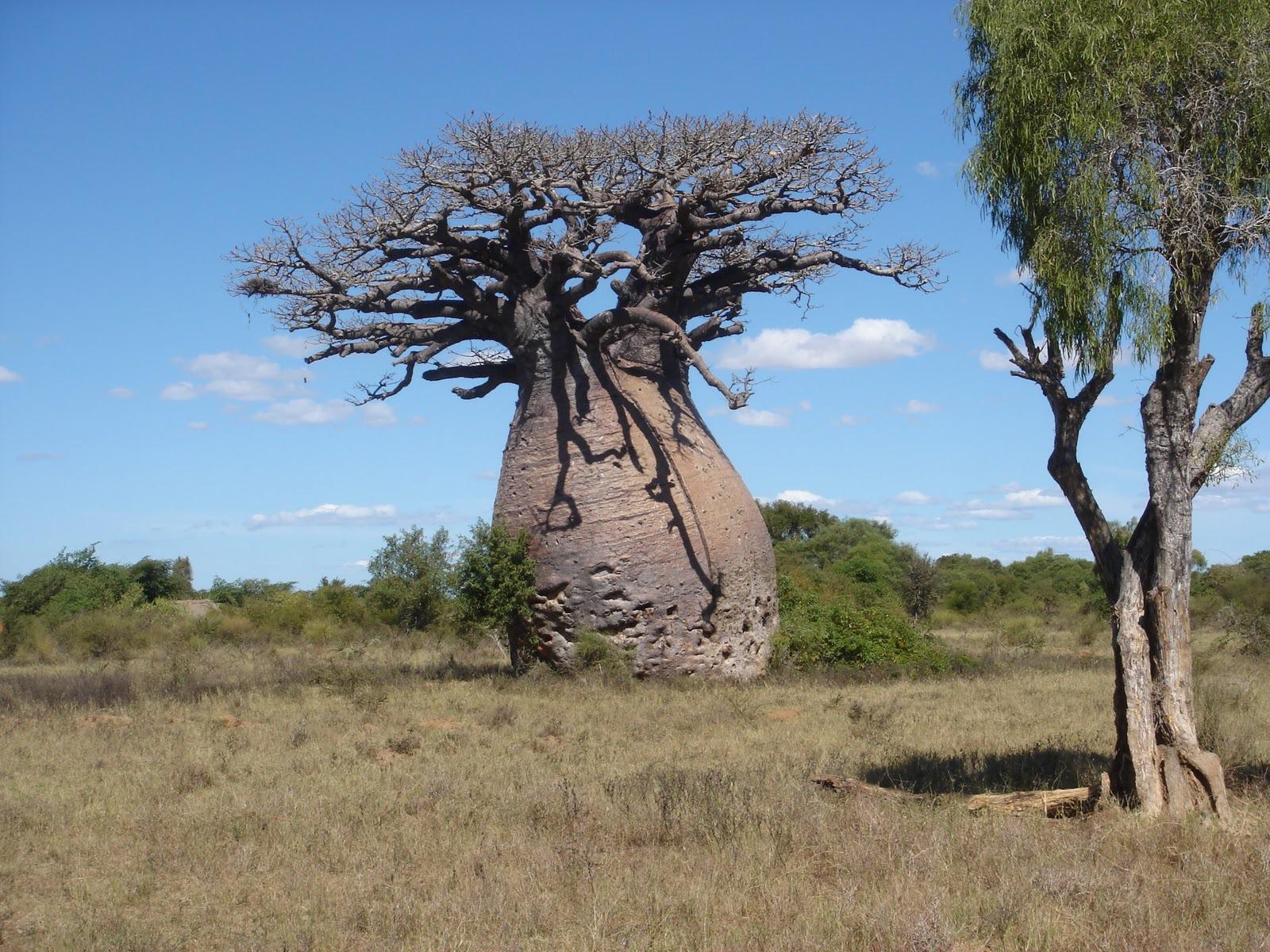 Baobab Wallpaper
