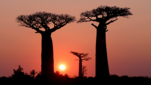 Baobab Wallpapers
