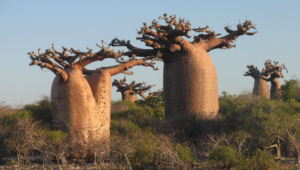 Baobab Wallpapers HD