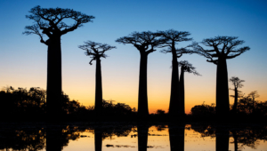 Baobab Wallpapers HQ