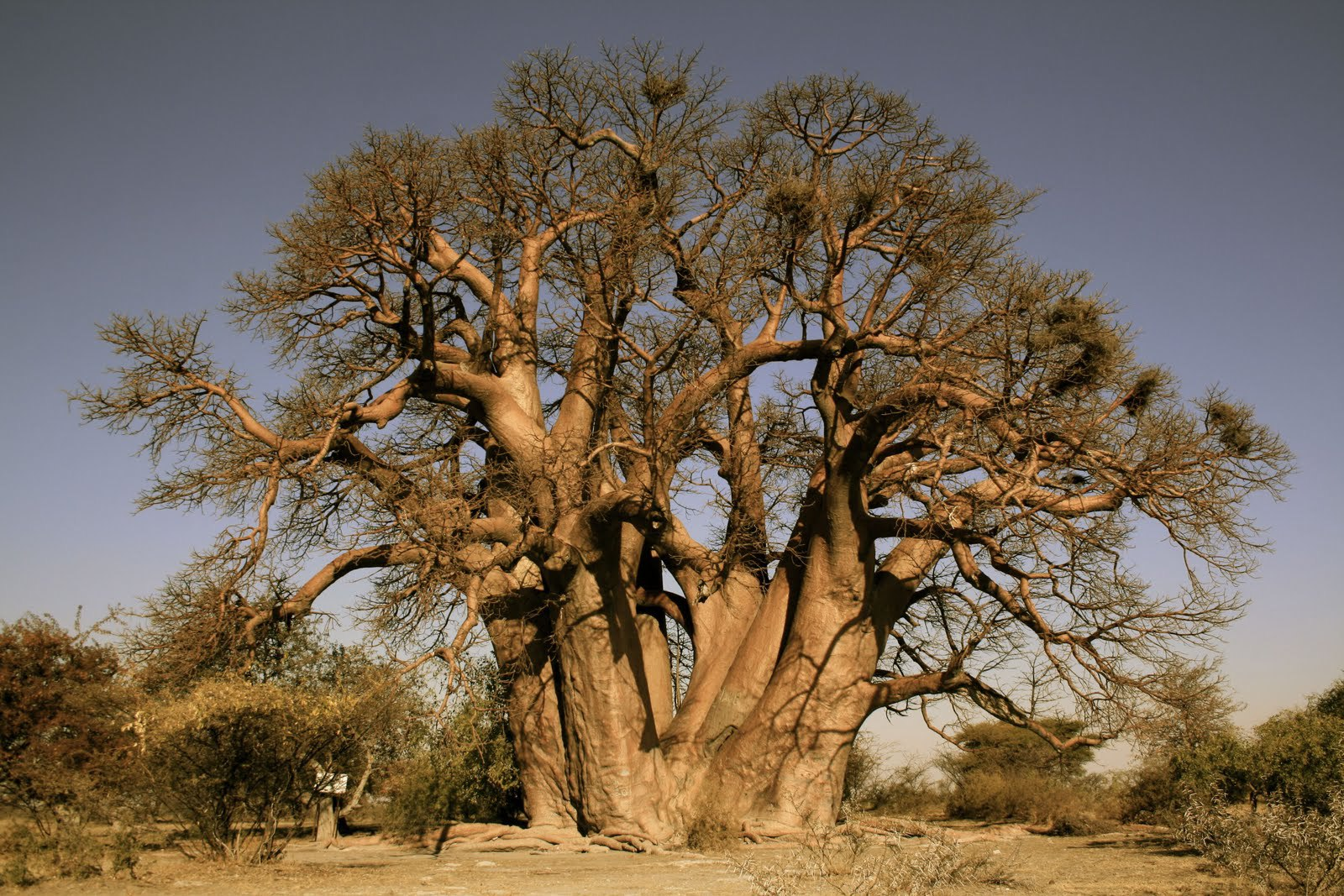 Baobab Wallpapers And Backgrounds