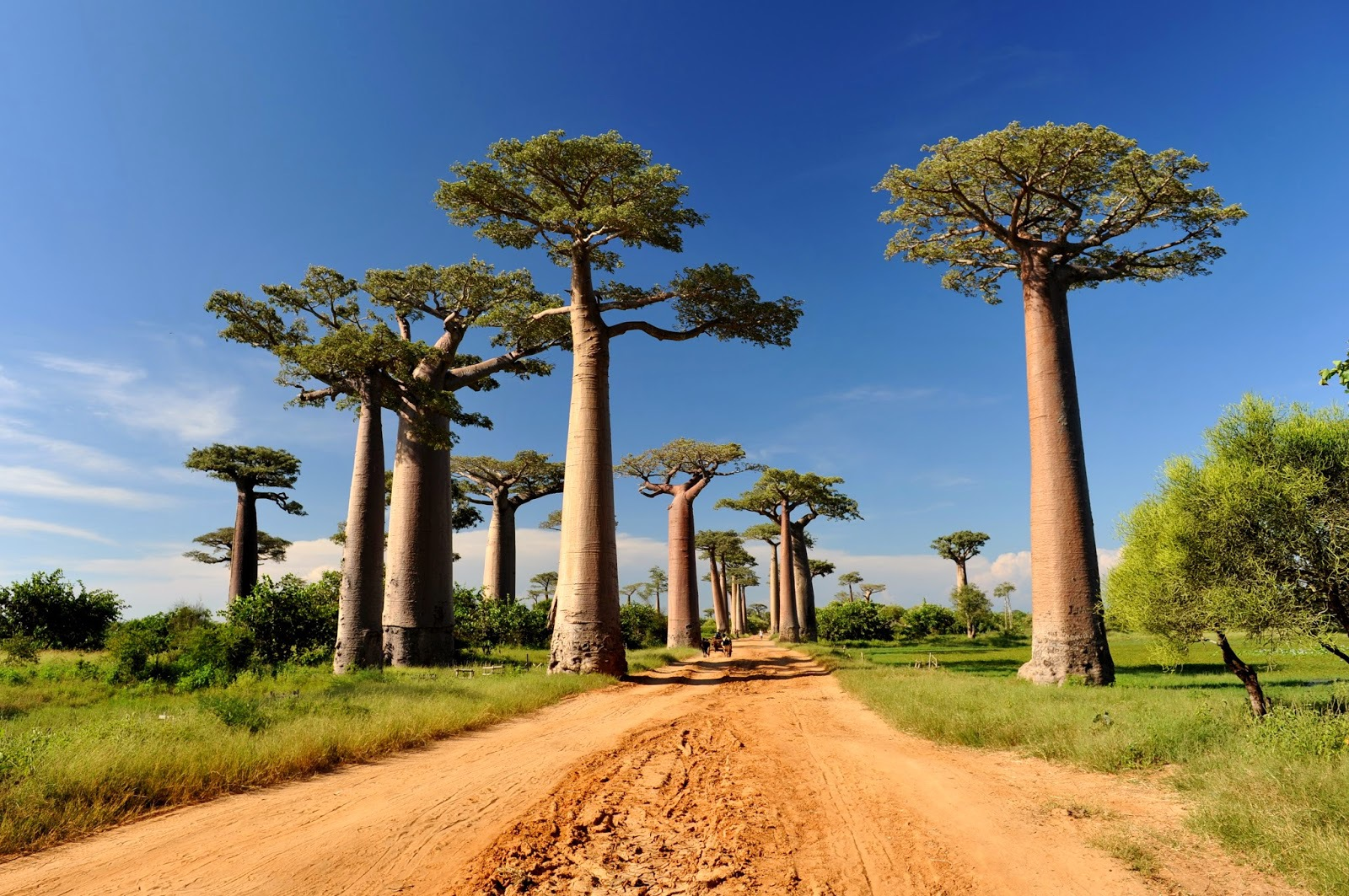 Baobab For Desktop Background