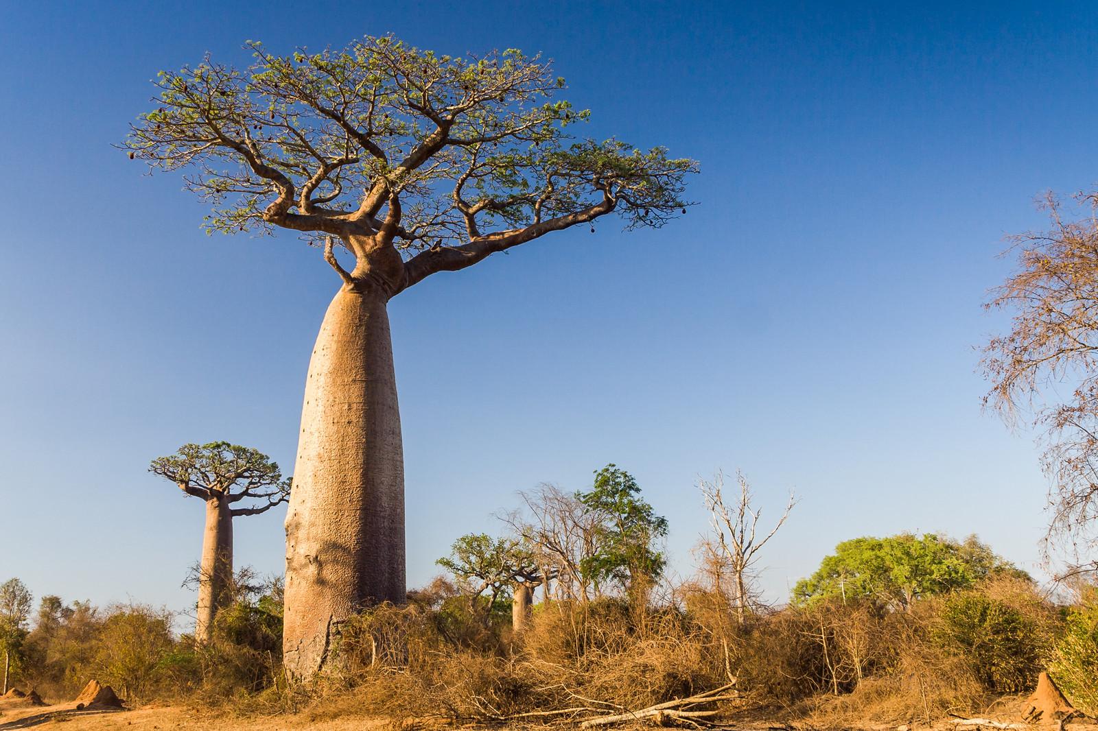 Baobab Full HD