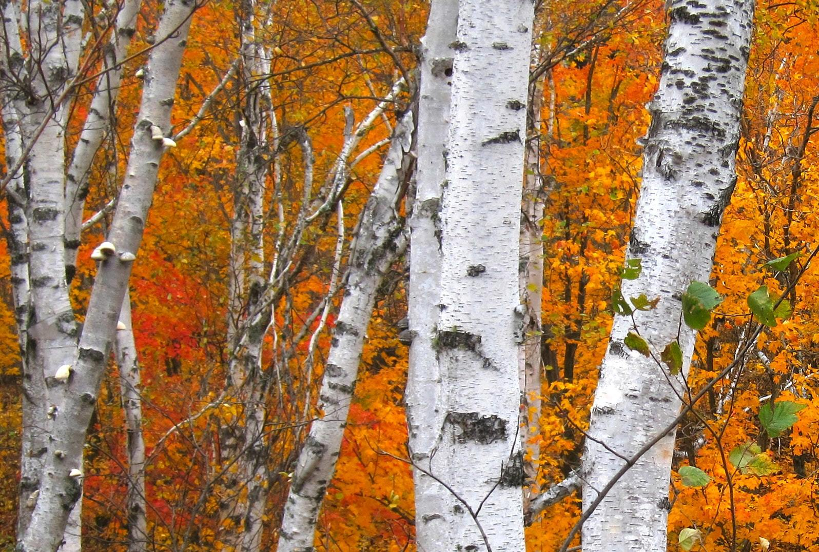 Birch Download Free Backgrounds HD