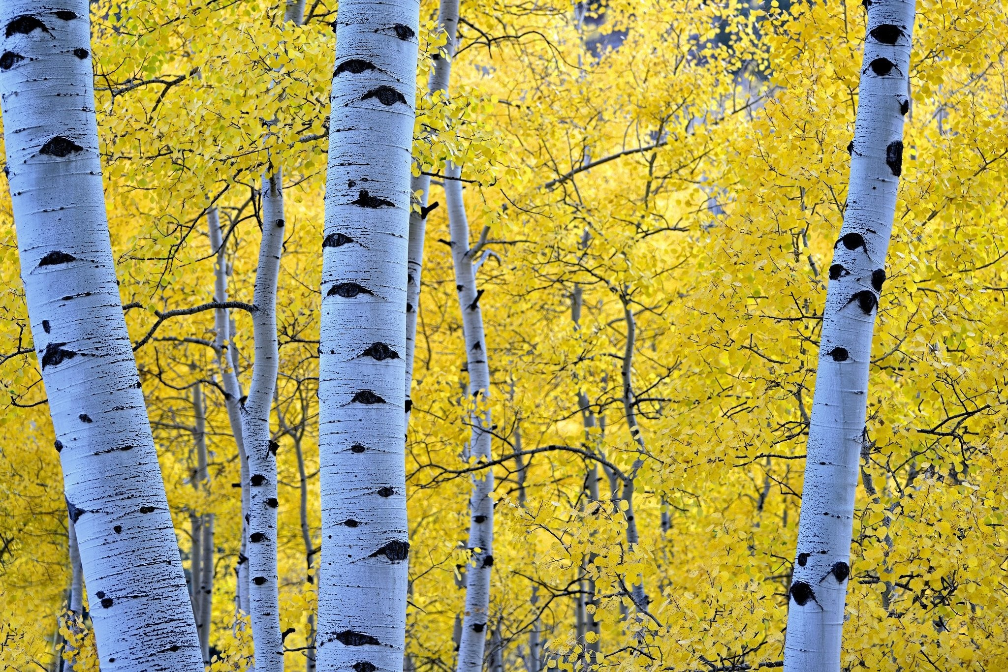 Birch Download