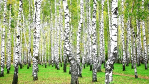 Birch Free HD Wallpapers
