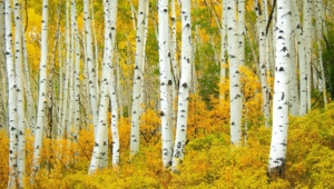 Birch HD Wallpaper