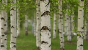 Birch HD Pics