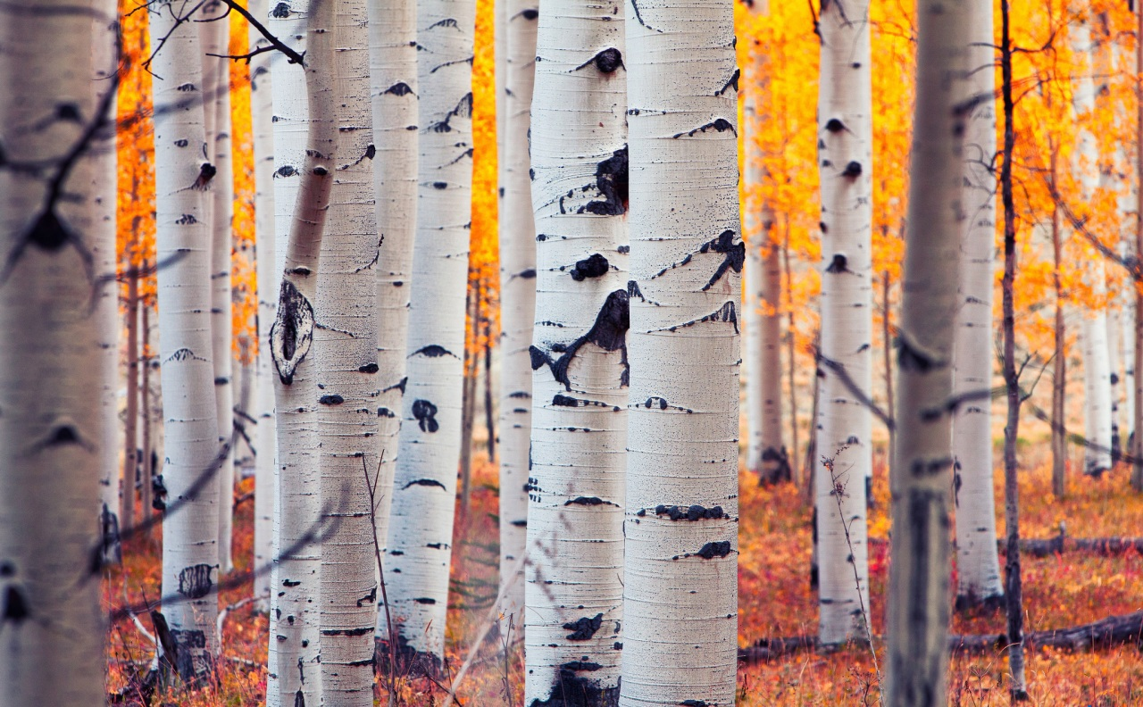 Birch High Definition Wallpapers