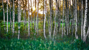 Birch Photos