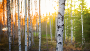 Birch Wallpaper For Desktop