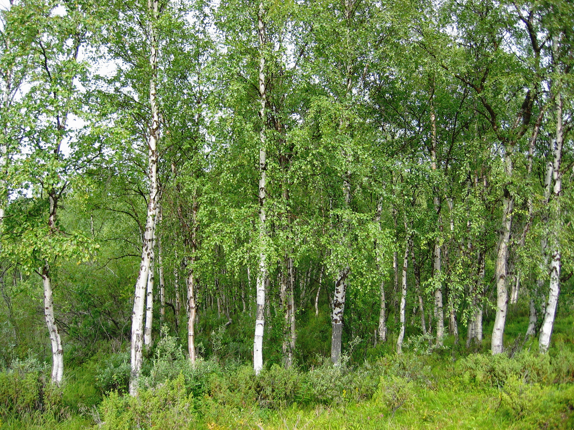 Birch Wallpapers And Backgrounds