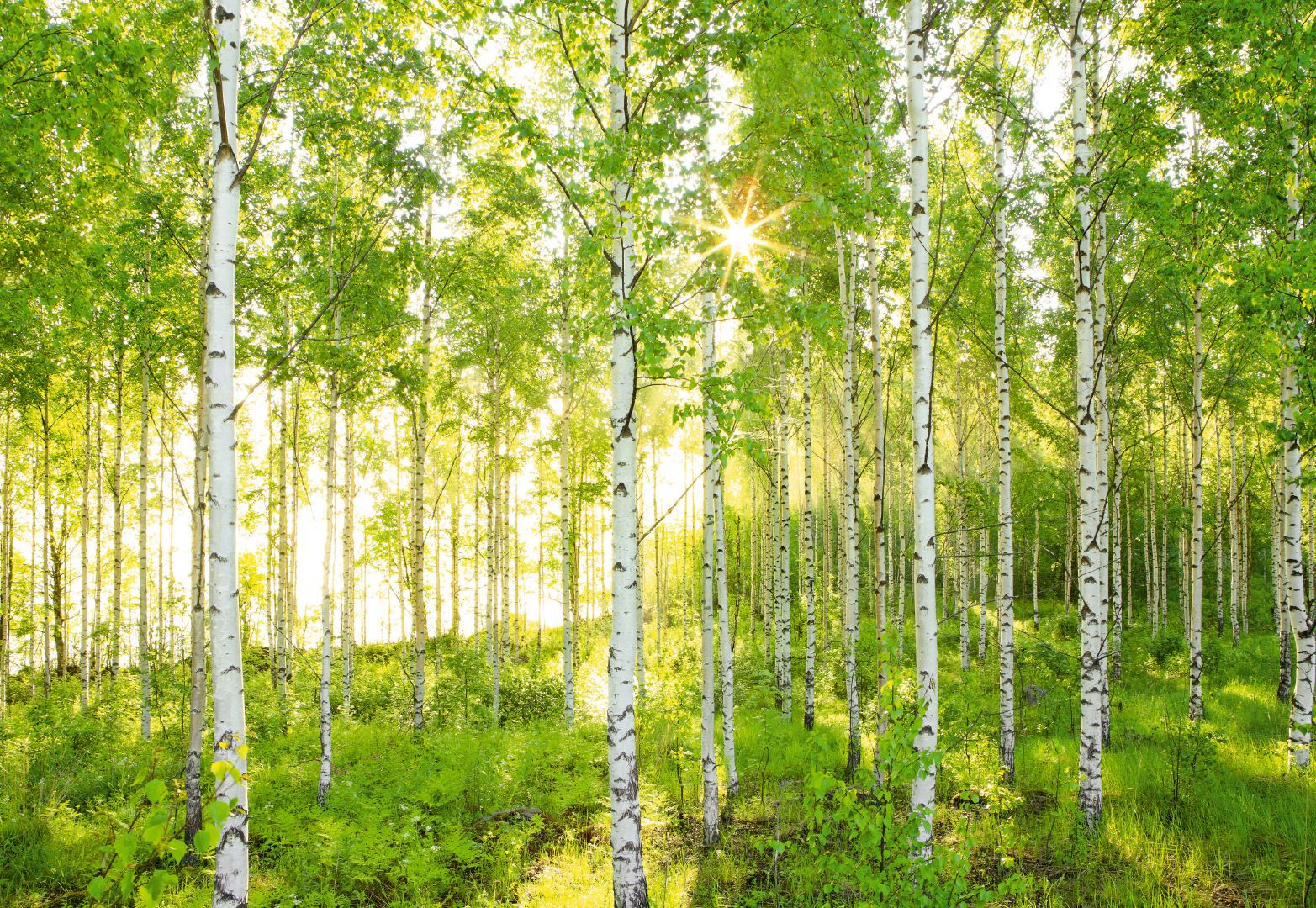 Birch Wallpapers