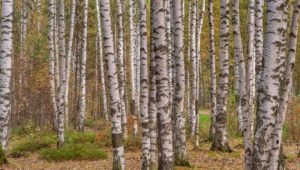 Birch Widescreen